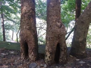 Funny shapes of trees found while Hiking Tours Kasauli