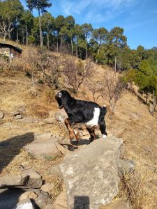 Happy lamb jumping to glory seen while Kasauli Nature Walks by Vanita